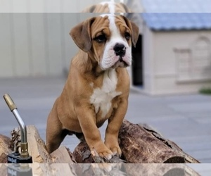 Beabull Puppy for sale in ANCHORAGE, AK, USA