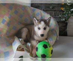 Siberian Husky Puppy for sale in ANN ARBOR, MI, USA