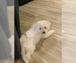 Bichon Frise Puppy for sale in CANTON, GA, USA