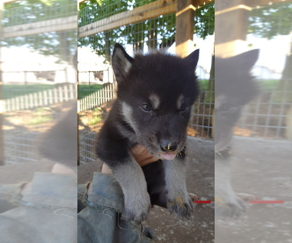 PuppyFinder com - View Ad: Photo #8 of Listing German