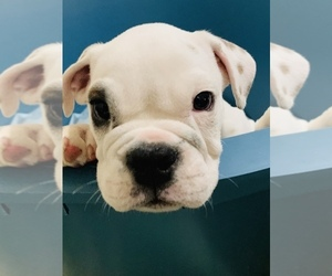 English Bulldog Puppy for Sale in SPANAWAY, Washington USA