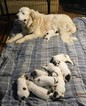 Great Pyrenees Puppy For Sale in DALLAS, GA, USA