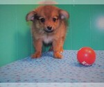 Small Photo #3 Dameranian Puppy For Sale in PATERSON, NJ, USA