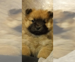 Chow Chow Puppy for sale in MANNINGTON, WV, USA