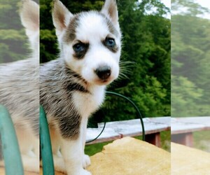 Siberian Husky Puppy for Sale in DANBY, Vermont USA