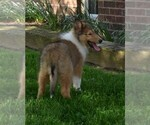 BEAUTIFUL COLLIE FEMALE LACEY