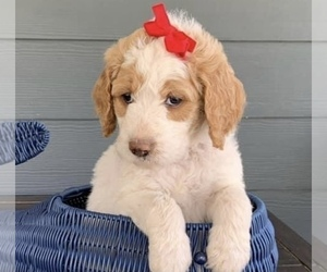 Goldendoodle-Poodle (Standard) Mix Puppy for sale in FLAT ROCK, NC, USA