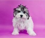 Puppy 9 Morkie