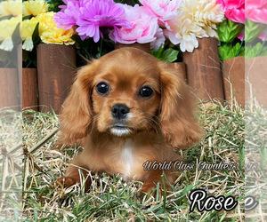 Cavalier King Charles Spaniel Dog for Adoption in MIAMI, Florida USA