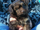 Pomeranian-Poodle (Toy) Mix Puppy For Sale in ELKLAND, MO