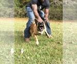 Small #2 Dutch Shepherd Dog