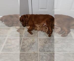 Golden Retriever Puppy for sale in BRUNSWICK, ME, USA