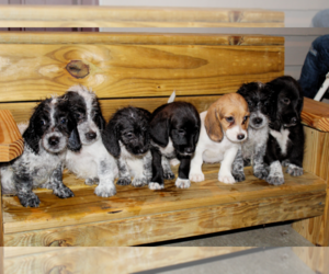 Poogle Puppy for Sale in SOMERSET, Kentucky USA