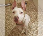 Small #117 American Staffordshire Terrier Mix