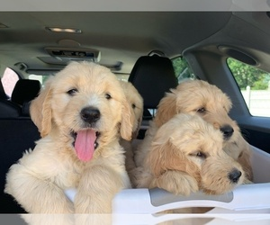 Goldendoodle Puppy for Sale in MURFREESBORO, Tennessee USA