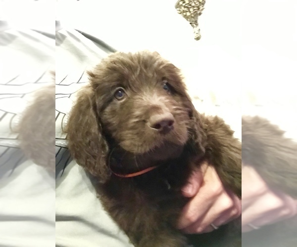 Newfoundland-Poodle (Standard) Mix puppy