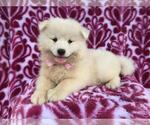 Samoyed Puppy For Sale in QUARRYVILLE, PA, USA
