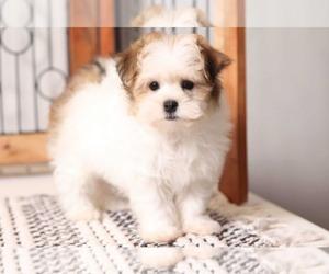 Havanese Dog for Adoption in NAPLES, Florida USA