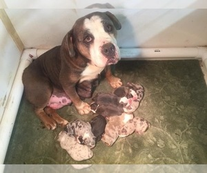 Mother of the Olde English Bulldogge puppies born on 04/21/2021