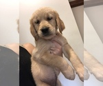 English Cream Golden Retriever Puppy For Sale in BRISTOL, VT, USA
