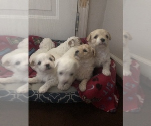Poodle (Toy)-Shih-Poo Mix Puppy for sale in WALNUT GROVE, CA, USA
