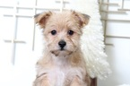 Yo-Chon-Yorkshire Terrier Mix Puppy For Sale in BEL AIR, MD, USA