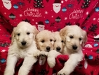 Goldendoodle Puppy For Sale in WICHITA, Kansas,