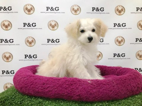 Malteagle-Poodle (Toy) Mix puppy