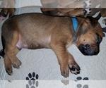 Puppy 3 Dogue de Bordeaux-Masti-Bull Mix