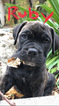 AKC Bullmastiff Puppy