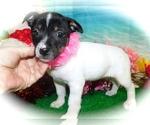 Small Rat Terrier