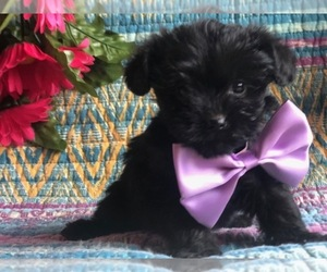 Yorkie-Poo Puppy for sale in CLAY, PA, USA