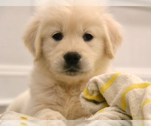 Golden Retriever Puppy for Sale in SUFFOLK, Virginia USA