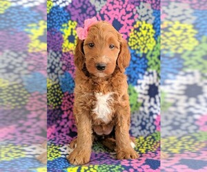 Irish Doodle Puppy for sale in LANCASTER, PA, USA