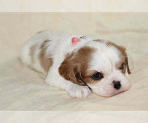 Cavalier King Charles Spaniel Puppy for sale in HOMELAND, CA, USA