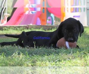 Labrador Retriever Puppy for Sale in CORTARO, Arizona USA