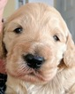 Goldendoodle Puppy For Sale in SAN DIEGO, CA,