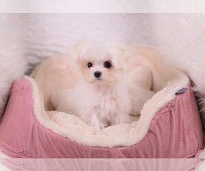 Maltese Dog for Adoption in FULLERTON, California USA
