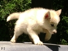 Alaskan Malamute-Wolf Hybrid Mix Puppy For Sale in SOMERSET, OH, USA