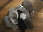 American Pit Bull Terrier Puppy For Sale in MAYWOOD, IL,
