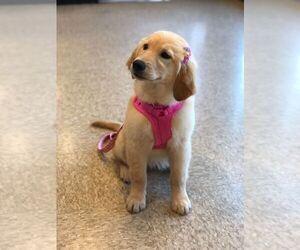 English Cream Golden Retriever Puppy for sale in BEAVER CREEK, OH, USA