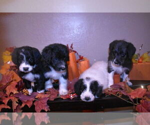 Bordoodle Puppy for Sale in SALT LAKE CITY, Utah USA