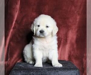 English Cream Golden Retriever Puppy for sale in FREDERICKSBG, OH, USA