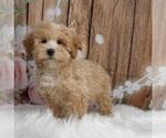 Puppy 14 Maltipoo