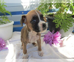 Boxer Puppy for sale in KALAMAZOO, MI, USA