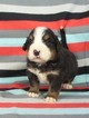 Jerry  Pure Bred Bernese Mtn Dog