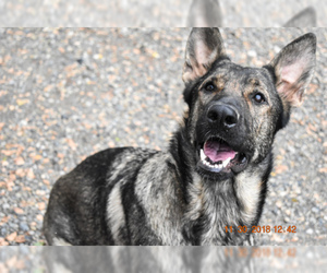 German Shepherd Dog Puppy for sale in OAKHURST, CA, USA