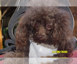 Poodle (Toy) Dog for Adoption in DULUTH, Georgia USA