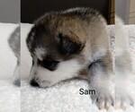 Puppy 3 Wolf Hybrid