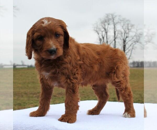 Medium Photo #2 Irish Doodle Puppy For Sale in GREENCASTLE, PA, USA